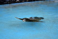 Seaturtle royalty free stock image