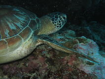 SeaTurtle3 Stock Image