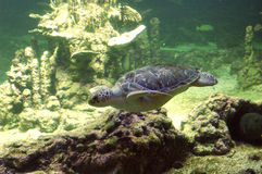 Seaturtle swimming. A seaturtle swimming Stock Photography