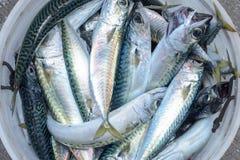 Seau complètement de poissons de maquereau Photos libres de droits