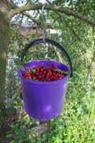 Seau de cerises sur un arbre Image stock