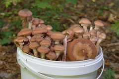 Seau de champignons dans la forêt, plein seau de miel de champignons photographie stock