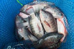Seau en plastique bleu complètement du poisson d'eau douce frais cru, Tilapia a Photographie stock libre de droits