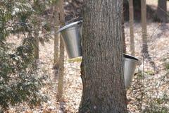 Seaux de collection de sève sur des arbres d'érable Photographie stock libre de droits