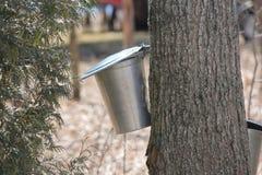 Seaux de collection de sève sur des arbres d'érable Photos stock