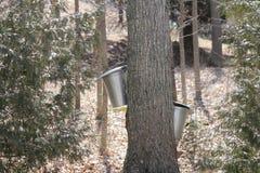 Seaux de collection de sève sur des arbres d'érable Photos libres de droits