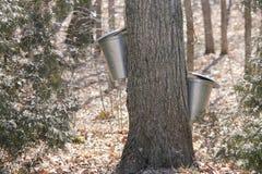 Seaux de collection de sève sur des arbres d'érable Images libres de droits