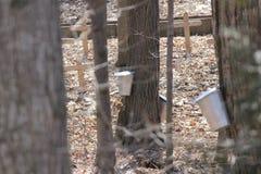 Seaux de collection de sève sur des arbres d'érable Photo stock