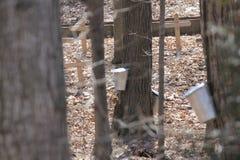 Seaux de collection de sève sur des arbres d'érable Image stock