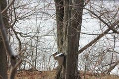 Seaux de collection de sève sur des arbres d'érable Photographie stock