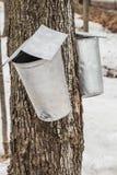 Seaux de sève d'érable sur des arbres au printemps Images libres de droits