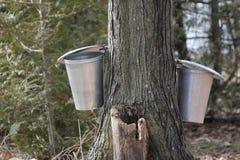 Seaux de sève sur l'arbre Image libre de droits