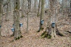 Seaux et robinets sur des arbres d'érable pour rassembler la sève Photo libre de droits
