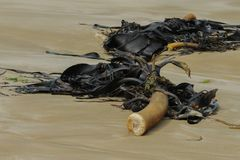 Seawead Bull kelp on the beach stock photography