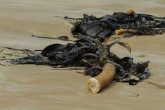 Seawead tjurbrunalg på stranden arkivbild