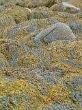seaweed келпа детали стоковая фотография rf