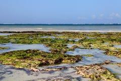 seaweed Кении dania пляжа Стоковые Изображения RF