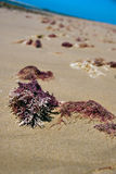 seaweed пляжа Стоковое Фото
