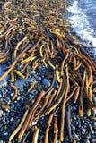 seaweed пляжа Стоковая Фотография