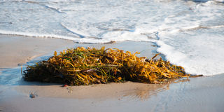 Seaweed пляжа Стоковые Фото