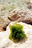 Seaweed. Green seaweed on the stone near the sea Royalty Free Stock Photography