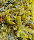 Seaweed. On a coast at low tide time Stock Photo