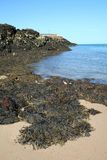 seaweed Стоковая Фотография RF