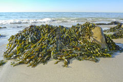 Seaweed. On a beach and sea Royalty Free Stock Photos