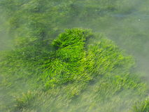Seaweed. This is some green seaweed Stock Photo