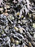 Seaweed. Washed up on a beach Stock Images