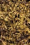 Seaweed Stock Photography