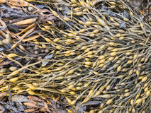 Seaweed. Mass of seaweed filling the frame Stock Photography