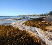 Seaweed. Piles of seaweed washed up on beach Royalty Free Stock Images