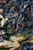 seaweed Fotos de Stock Royalty Free