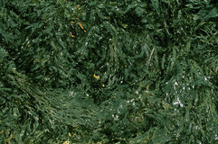 Seaweed. Background for nautical presents and themes Royalty Free Stock Images