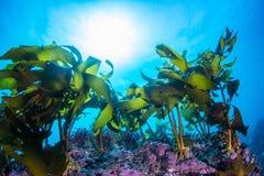 seaweed arkivfoto