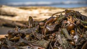 seaweed Imagem de Stock Royalty Free