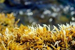 seaweed Imagen de archivo libre de regalías