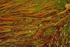 seaweed Royaltyfri Bild