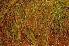 seaweed Royaltyfri Foto