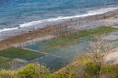 Seaweed algae Royalty Free Stock Images