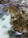 Seaweed or algae Stock Photography