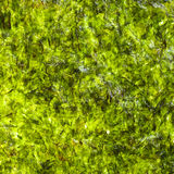 Seaweed background Royalty Free Stock Image