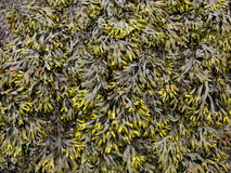 Seaweed background pattern Royalty Free Stock Photos