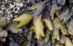 Seaweed and Barnacles. Exposed on seashore in Vancouver Stock Photos