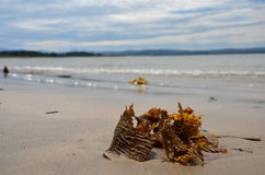 Seaweed on the beach Royalty Free Stock Images