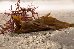Seaweed on a beach in the Faroe Islands. In the north Atlantic Stock Images