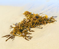 Seaweed at the beach. In the morning Royalty Free Stock Images