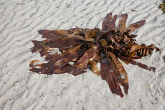 Seaweed on beach sand Stock Images