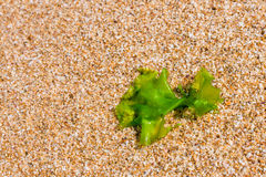 Seaweed on a beach sand, closeup algae Royalty Free Stock Images